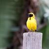 Vilage Weaver Bird