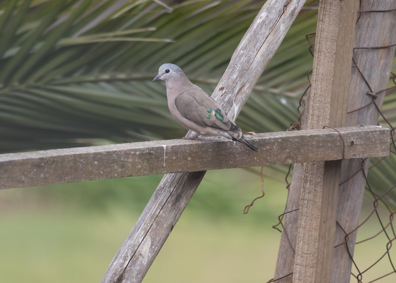Emerald Spotted Dove