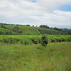 Tea and coffee is grown in the highlands around Limuru