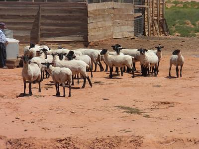 2010 Navajo Mission; Sheep