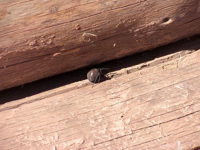 2010 Navajo Mission - Black Widow Spider