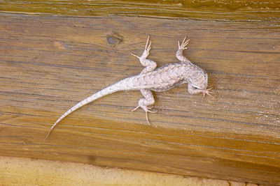 Navajo Mission - 2012 - Lizard on church siding, Chinle, Arizona