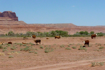 Navajo Mission - 2012 - Cows seen near Many Farms, Arizona