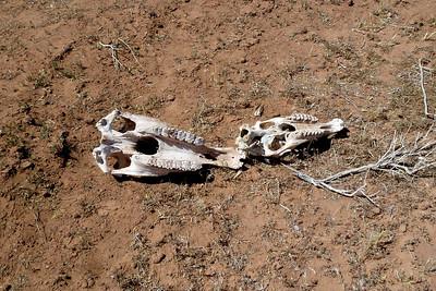 Navajo Mission - 2012 - Cow Skull in Lukachukai Cemetery, Lukachukai, Arizona
