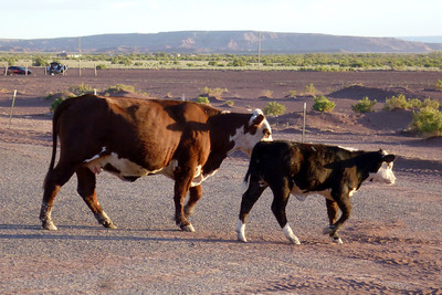 Navajo Mission - 2012 - Cows right outside the meeting Hogan in Chinle, Arizona