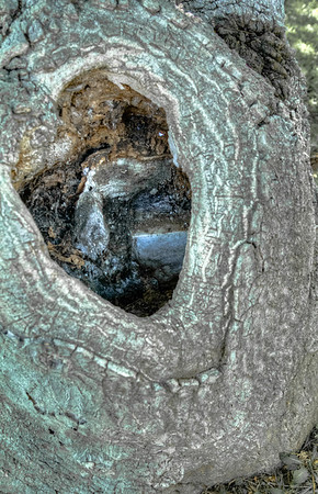 If you look down into the hole of this tree you will see the grave marker this tree grew around!