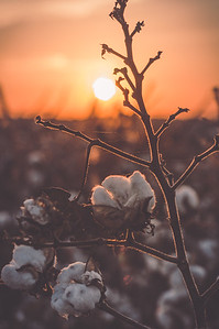 Cotton Sunrise