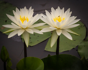 Water Lily Blooms