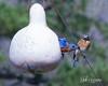 Eastern Bluebirds Nesting in Gourd in February