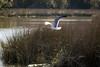 Laughing Gull in Flight