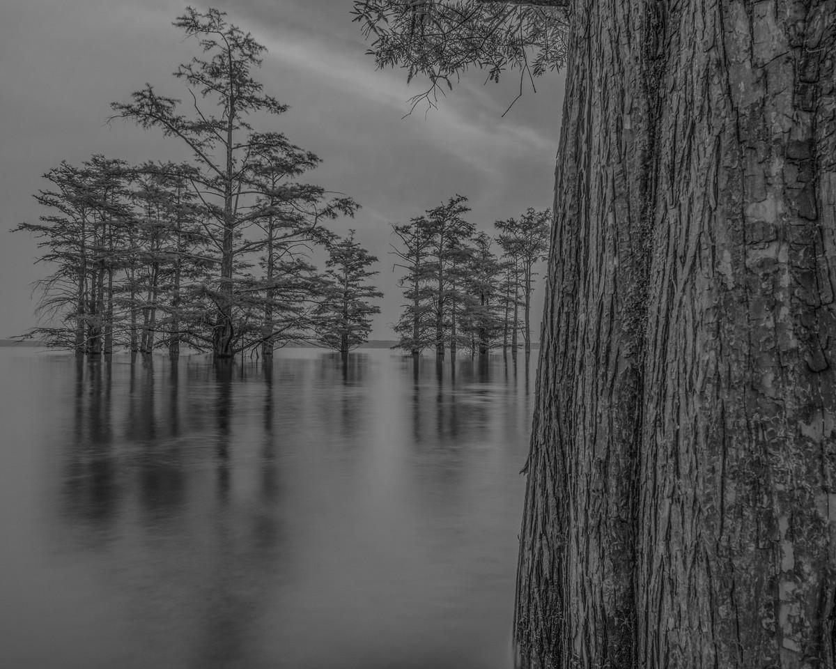 Cypress Trees in Sardis Lake
