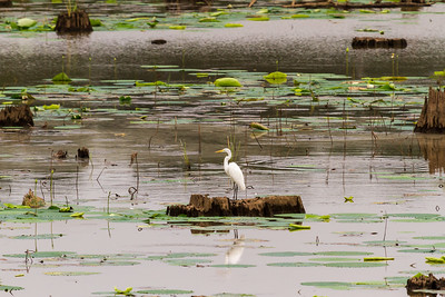 White Egret in Cyprus Swamp