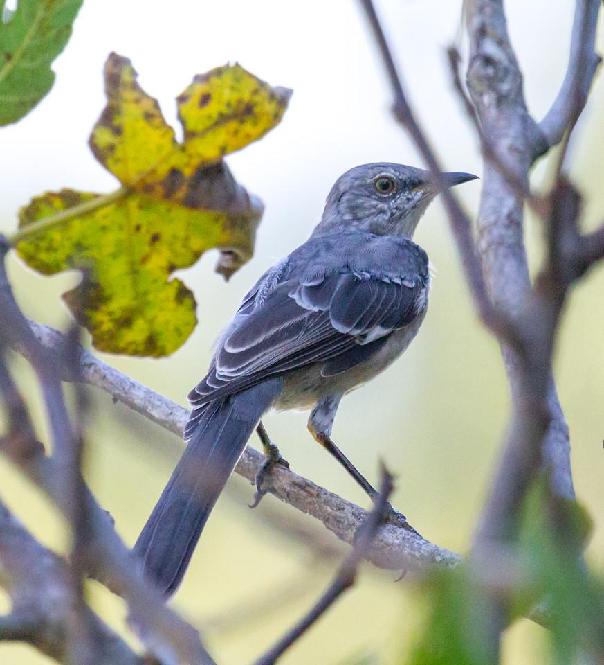 Lovely Mockingbird