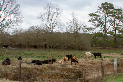 Cows Along Stream in MS