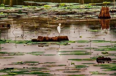 Egret at Noxubee National Wildlife Preserve in MS