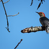 Golden Fronted Woodpecker on a branch