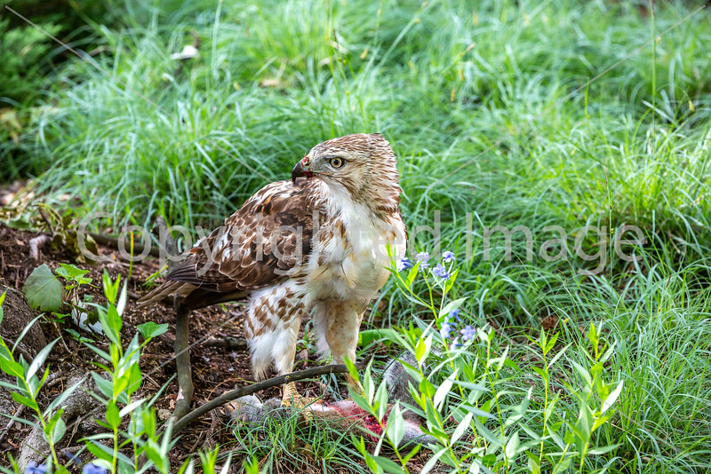 Red-tailed hawk, feeding on squirrel after kill - Missouri_1C30178 - 72 ppi