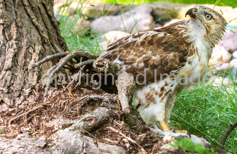 Red-tailed hawk, feeding on squirrel after kill - Missouri_1C30062 - 72 ppi