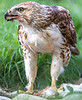 Red-tailed hawk, feeding on squirrel after kill - Missouri_1C30461 - 72 ppi-3