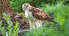 Red-tailed hawk, feeding on squirrel after kill - Missouri_1C30312 - 72 ppi-2