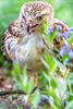 Red-tailed hawk, feeding on squirrel after kill - Missouri_1C30291-Edit - 72 ppi-3