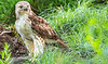 Red-tailed hawk, feeding on squirrel after kill - Missouri_1C30301 - 72 ppi-2