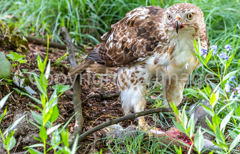 Red-tailed hawk, feeding on squirrel after kill - Missouri_1C30184 - 72 ppi