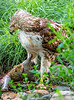 Red-tailed hawk, feeding on squirrel after kill - Missouri_1C30359 - 72 ppi-3