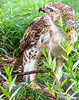 Red-tailed hawk, feeding on squirrel after kill - Missouri_1C30200 - 72 ppi-3