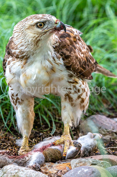 Red-tailed hawk, feeding on squirrel after kill - Missouri_1C30398 - 72 ppi-4