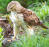 Red-tailed hawk, feeding on squirrel after kill - Missouri_1C30320 - 72 ppi-3