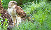 Red-tailed hawk, feeding on squirrel after kill - Missouri_1C30328 - 72 ppi-3