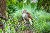 Red-tailed hawk, feeding on squirrel after kill - Missouri_1C30261 - 72 ppi