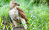 Red-tailed hawk, feeding on squirrel after kill - Missouri_1C30251 - 72 ppi-3