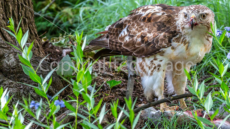 Red-tailed hawk, feeding on squirrel after kill - Missouri_1C30135 - 72 ppi