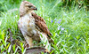 Red-tailed hawk, feeding on squirrel after kill - Missouri_1C30251 - 72 ppi-2
