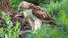 Red-tailed hawk, feeding on squirrel after kill - Missouri_1C30308 - 72 ppi-2