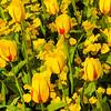 Tulips09
