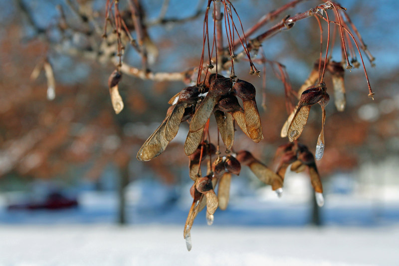 Some icy maple seeds