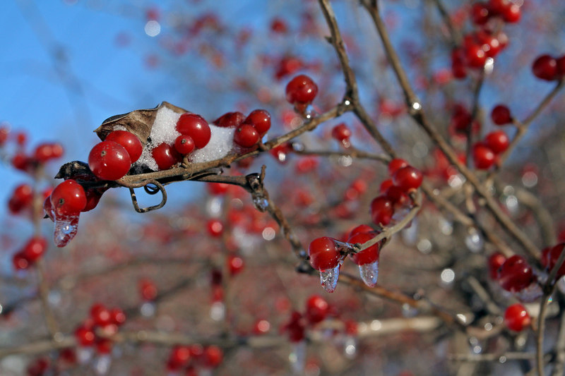 Some frosty berries
