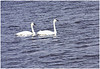 A pair of Trumpeter Swans at Squaw Creek Nat. Wildlife Refuge, NW Missouri, Nov. 23, 2008