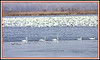 Trumpeter swans, around 25 of them, were feeding near the more than 100,000 snow geese at Squaw Creek.  Four of the trumpeters were banded.  You can see the broad red bands on them. It is believed that the banded swans came down from Iowa.  Nov. 23, 2008.