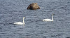 Gliding by a muskrat hut, two of 25 Trumpeter swans were taking life easy.  Squaw Creek Nat. Wildlife Refuge, Nov. 23, 2008