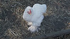 A white Cochin ornamental chicken at the Watkins Mill State Park farm.  Lawson, MO.