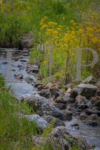 Butter weed-creek 003