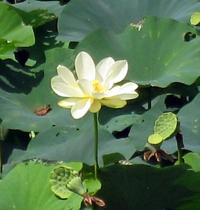 American Lotus June - September The fruit was important food source for Native Americans, who dug up the starchy roots with their feet. Waterfowl eat the seeds and large colonies are important nurseries for fish as well as shelter for ducks.