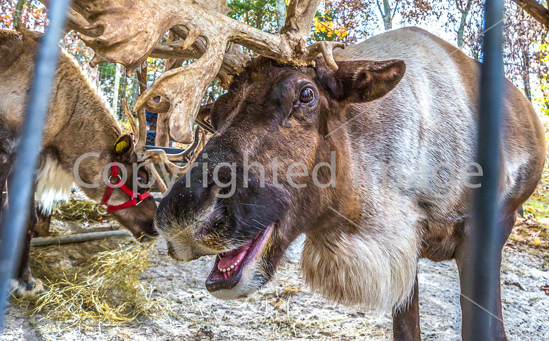 Reindeer, 2nd shoot - C2-0338 - 72 ppi-3