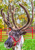 Reindeer, 2nd shoot - C2-0196 - 72 ppi-2