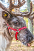 Reindeer, 2nd shoot - C1-30205 - 72 ppi