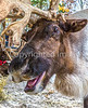 Reindeer, 2nd shoot - C2-0338 - 72 ppi-3-2